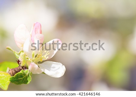 White-pink flower of an apple-tree close up. Oveshchen sun, small depth of sharpness, indistinct background. Copyspace on the right - stock photo