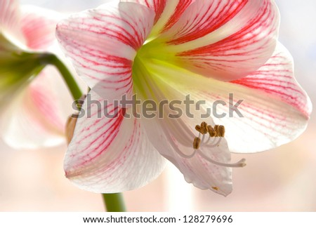 white pink lily blooming flower details closeup background - stock photo
