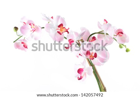 White pink orchid isolated on white background