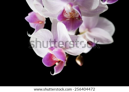 White pink orchid on black background - stock photo