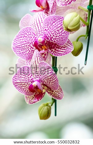 White pink phalaenopsis orchid flower in the garden