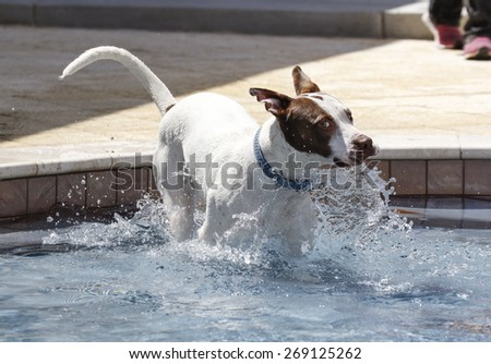 White pitbull jumping into a pool with his tongue out - stock photo