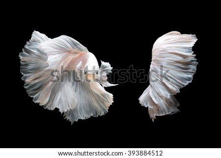 White platinum Betta fish or Siamese fighting fish in movement isolated on black background - stock photo