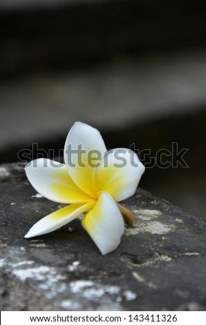 White plumeria - stock photo