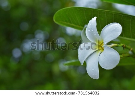 White plumeria and green leaves after rain.