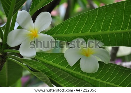 White plumeria blooming in the garden