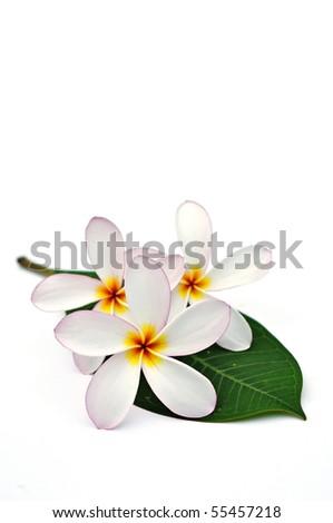 White Plumeria flower on green leaf - stock photo