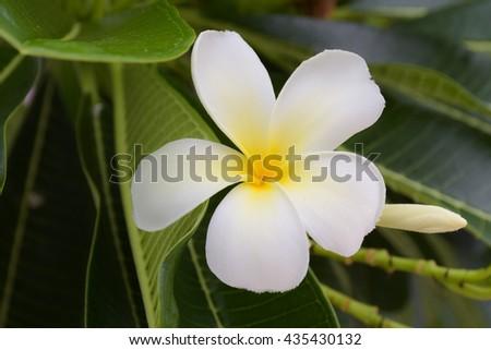 White plumeria flower, spa flower - stock photo
