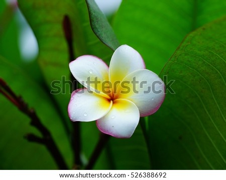 White Plumeria flower with green background