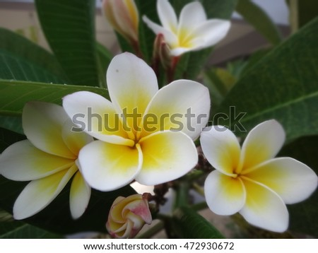 White Plumeria Flowers are blooming