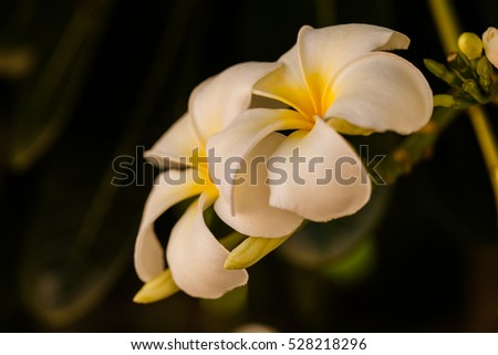 White Plumeria flowers blooming or leelawadee in garden