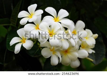 White plumeria flowers on a tree - stock photo