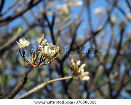 White Plumeria Frangipani flowers blooming on a tree in clear blue sky - stock photo