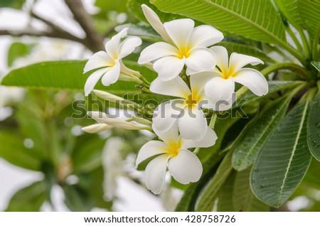 White Plumeria, Frangipani flowers ,Tropical flowers frangipani - stock photo