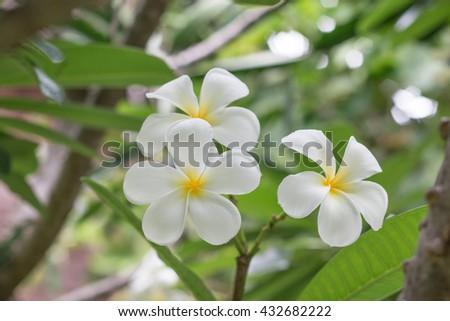 White Plumeria on the Plumeria tree, frangipani tropical flowers.White Plumeria. Plumeria flowers. - stock photo