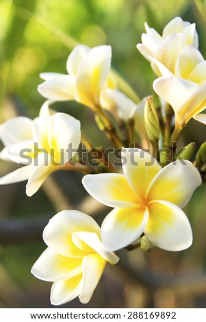 white Plumeria or Frangipani flowers on the natural tree branches. tropical, fresh petals - stock photo
