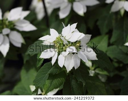 White Poinsettia flowers (Euphorbia pulcherrima) - stock photo