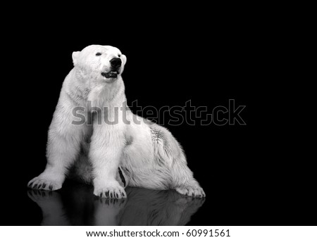 White Polar Bear Hunter - sitting - stock photo