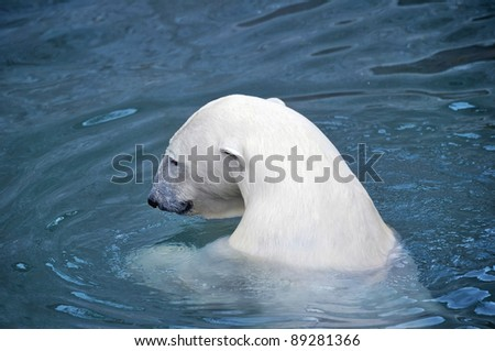 White polar bear in water - stock photo