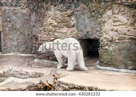 White polar bear in zoo - stock photo