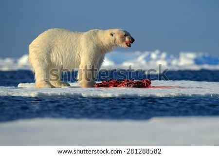 White polar bear on drift ice with snow feeding kill seal, skeleton and blood, Svalbard, Norway - stock photo