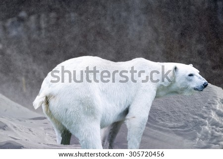 White Polar bear on snow and ice background