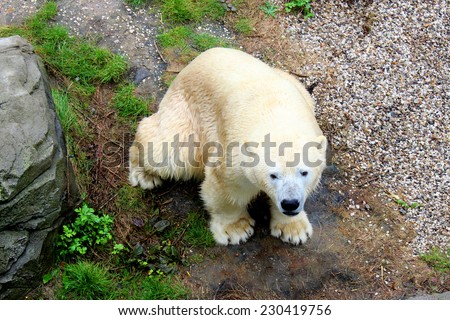 White polar bear seen from above - stock photo