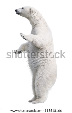 White polar bear stand. Isolated on white background - stock photo