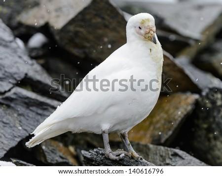White polar bird - stock photo