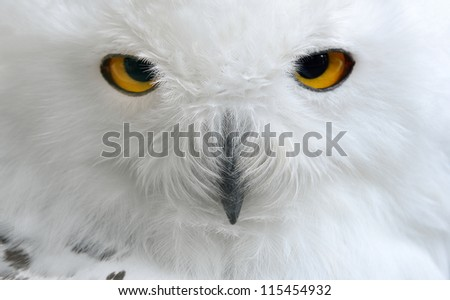 white polar owl close-up - stock photo