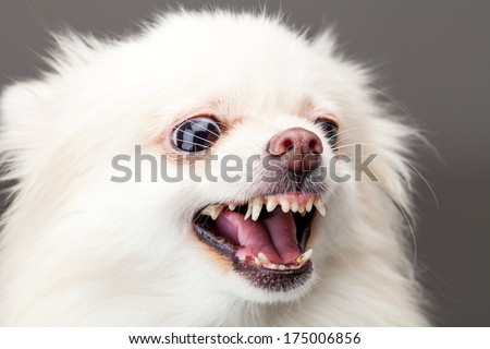 White pomeranian dog barking - stock photo