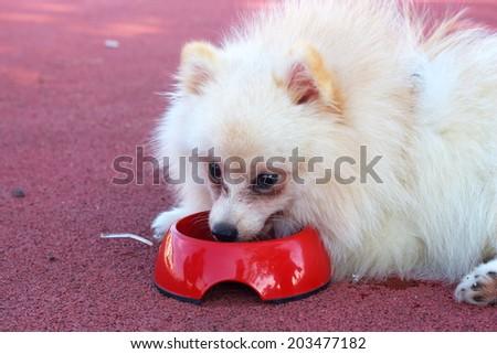 White pomeranian dog eat water - stock photo