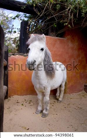 White pony with gray hair at nice farm. - stock photo