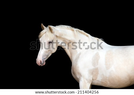 White pony with spots on black background - stock photo