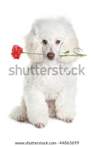White poodle puppy hold red flower. isolated on white background