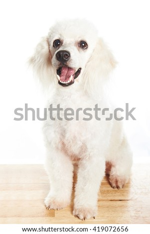 white poodle sit on wood table looking up