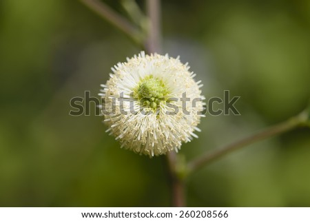 White  popinac   pollen   fully  spread    on   sunlight. - stock photo