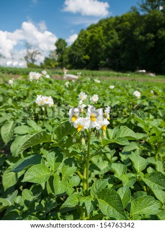 White potato flowers in a typical rural agricultural land - stock photo