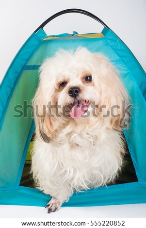 White puddle dog in tent picnic & Happy Dog Stay Private Tent Stock Photo 655429357 - Shutterstock