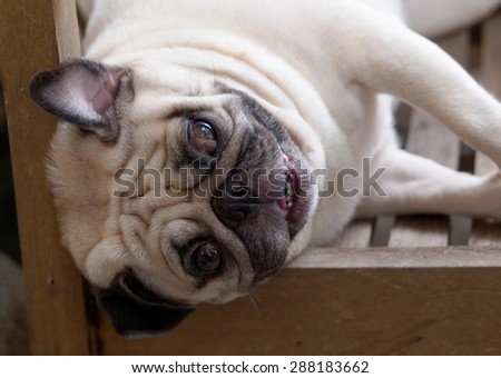 white pug dog laying rolling on a wooden chair outdoor under natural sunlight with home surrounding bokeh background making funny face