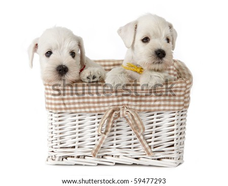 white puppies in a basket - stock photo