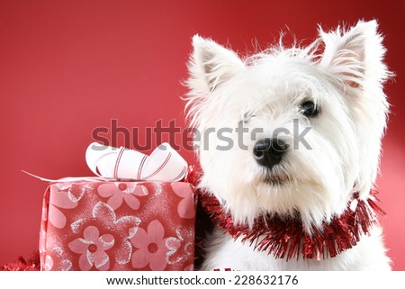 White puppy dressed in santa claus costume. - stock photo