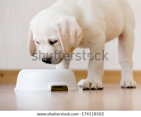 White puppy standing over his plastic bowl with food - stock photo