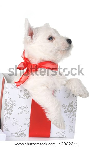 white puppy with red ribbon in gift box