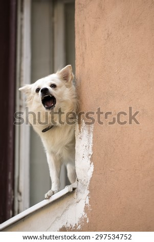 White pure breeded little dog standing in old wooden window and baying on street on light orange peeling flat wall background copyspace, vertical picture - stock photo