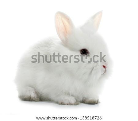 White rabbit bunny baby - stock photo