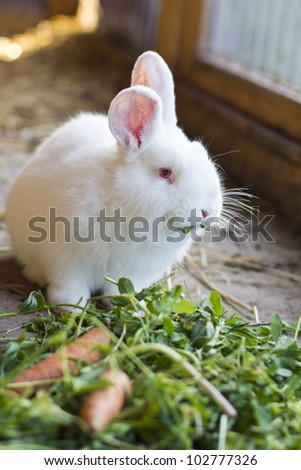 white rabbit eating grass and carrots - stock photo