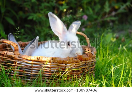 White rabbit is in a basket on a green grass - stock photo
