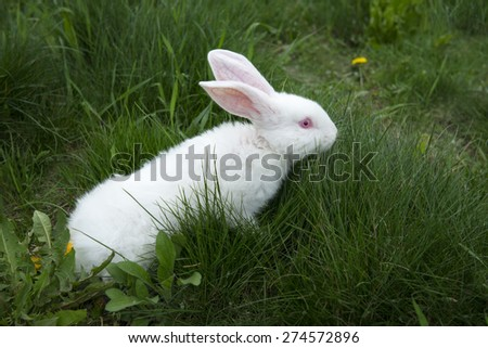 White rabbit looking for tasty grass, outdoors - stock photo