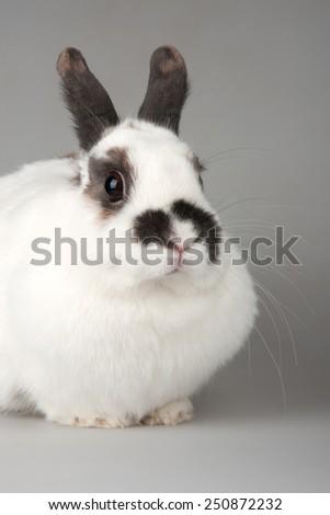 white rabbit with blask spots - stock photo